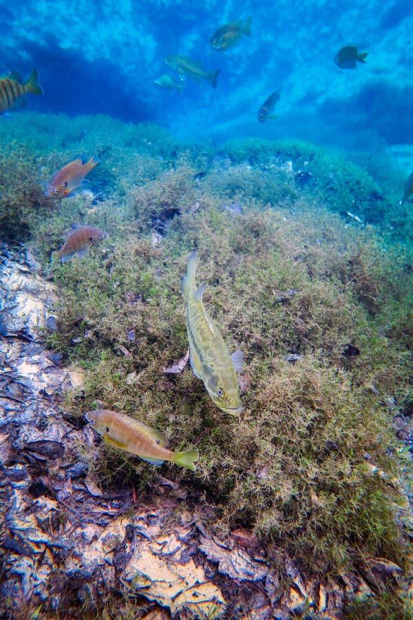 Baixo Largemouth, Sunfish manchado preto e caverna das molas foto de stock