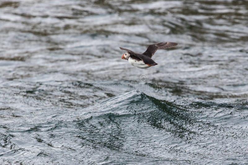 Baixo papagaio-do-mar de voo imagens de stock