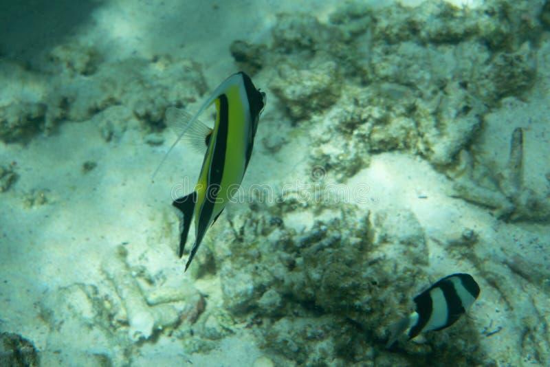 Bajío de los pescados de butterflyfish dobles pacíficos coloridos de la silla de montar, ulietensis de Chaetodon, bajo el agua imagen de archivo libre de regalías