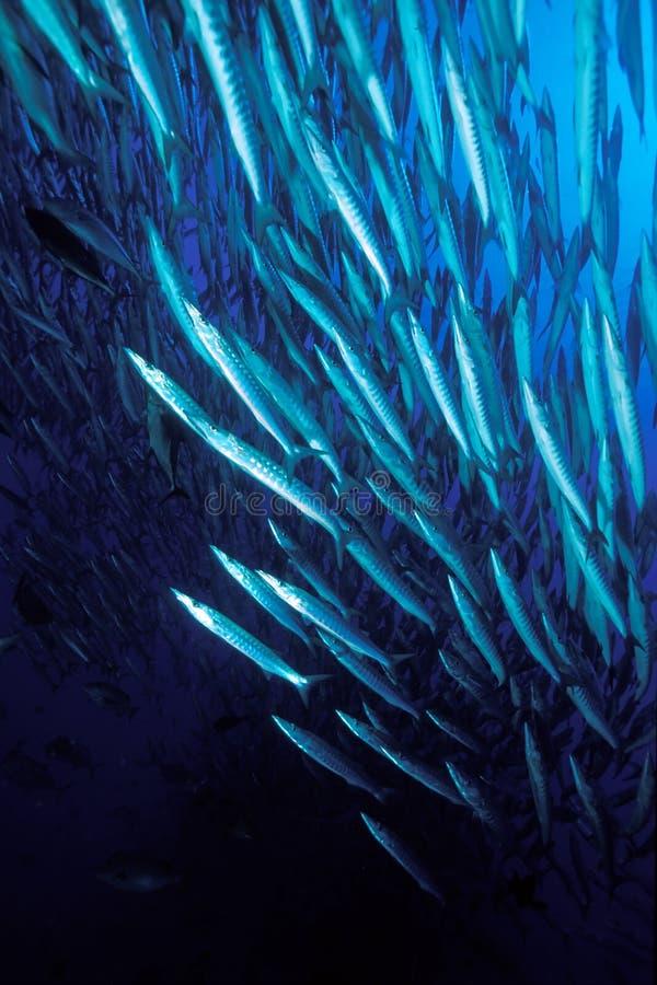 Bajío de pescados, barracudas, Mar Rojo foto de archivo