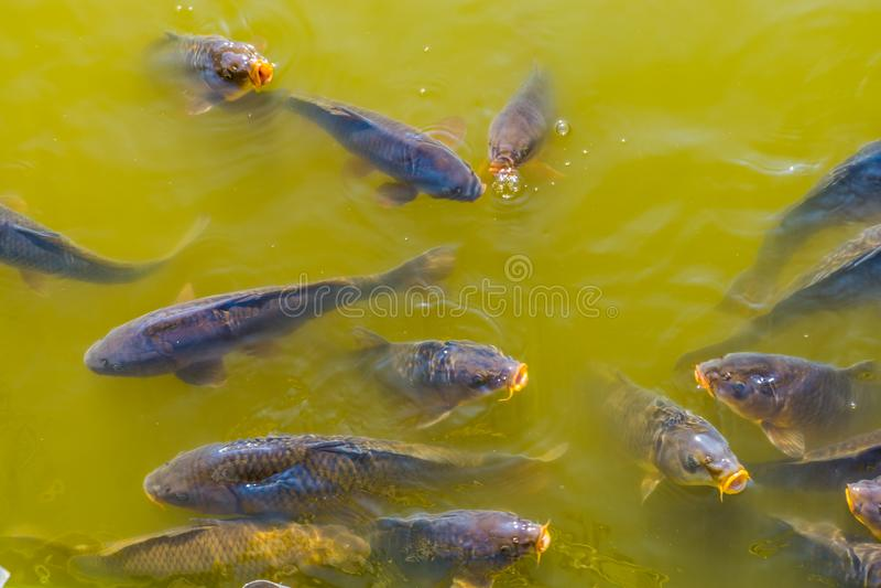 Bajío grande de carpas comunes que nadan junto y que vienen sobre el agua con sus bocas, especie común de los pescados de Europa imágenes de archivo libres de regalías
