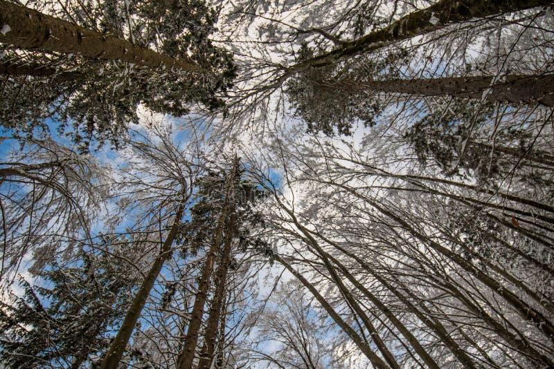 Baje la visión arriba en los altos árboles forestales desnudos congelados cubiertos para arriba con nieve en paisaje del invierno imágenes de archivo libres de regalías