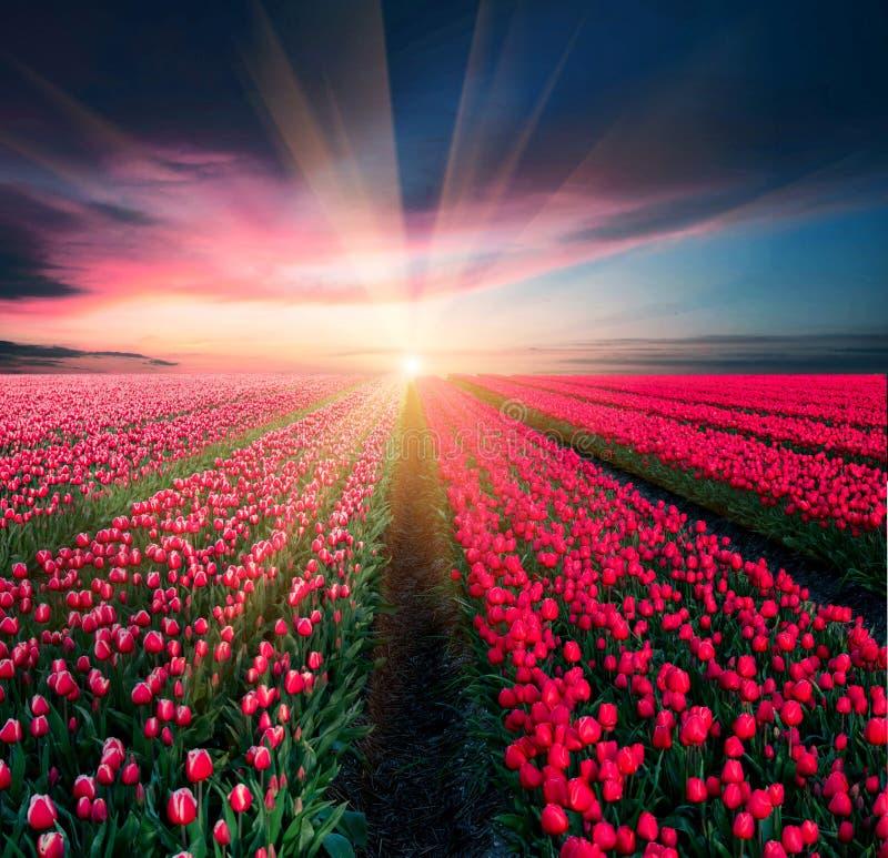 Bajecznie oszałamiająco magiczny wiosna krajobraz z tulipanowym polem na tle chmurny niebo przy zmierzchem w Holandia target60_0_ zdjęcia stock