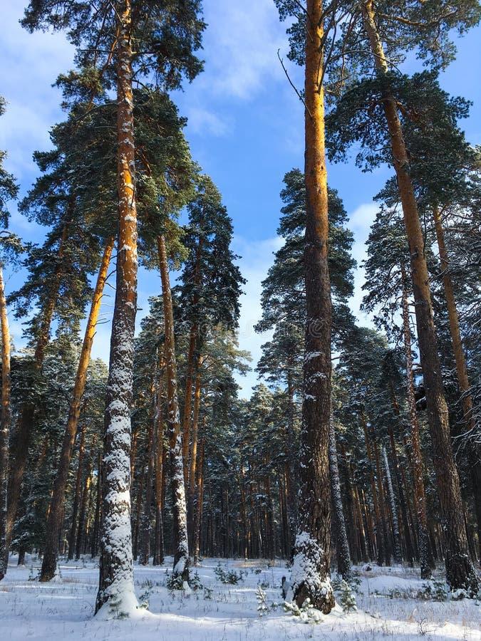 Bajecznie Rosyjskiej zimy sosnowy las w marznięcie pogodzie zdjęcia stock