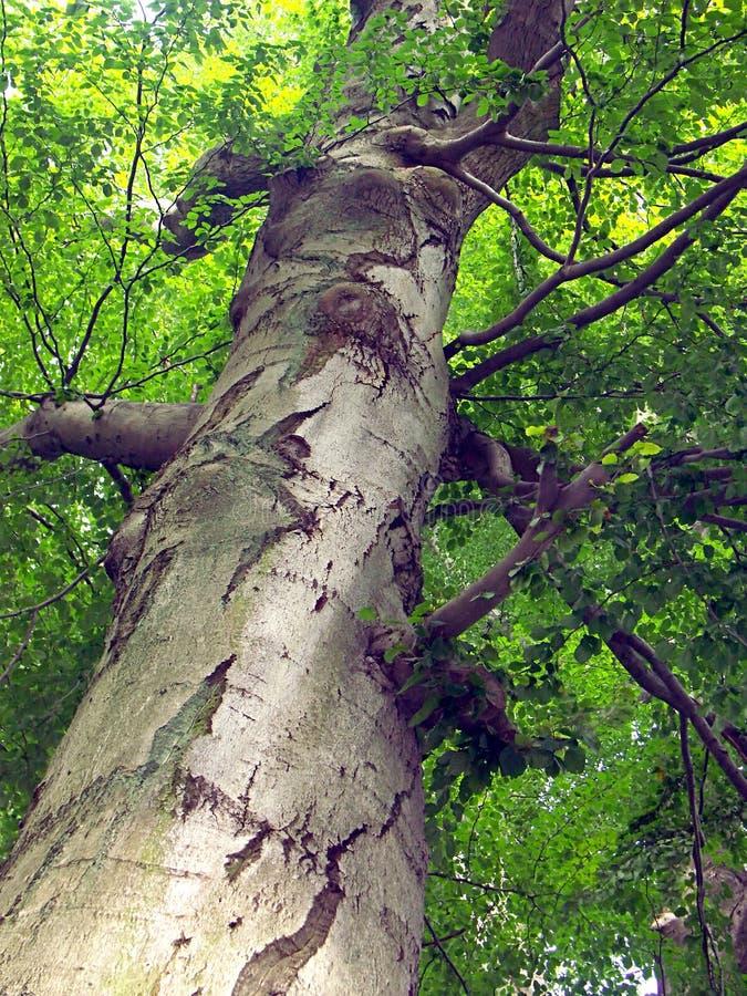 Bajo el árbol que mira para arriba foto de archivo