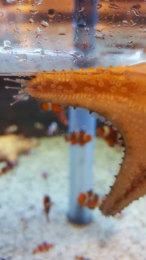 Bajo vientre de las estrellas de mar foto de archivo