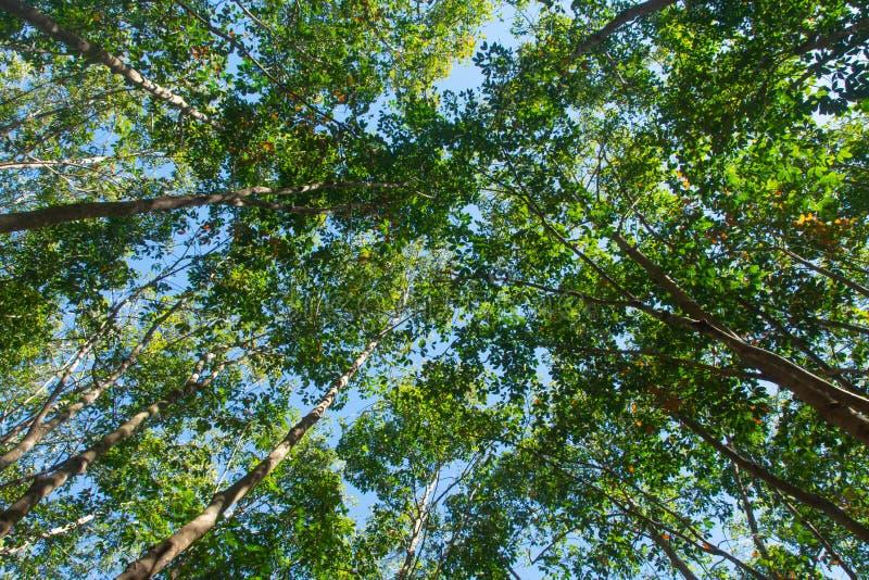 Bajo vista del árbol de goma de para Fondo de la plantación de goma imagen de archivo