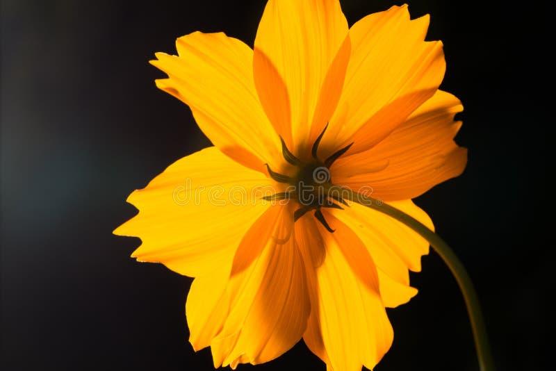 Bak av blomman för makroskottguling på svart bakgrund royaltyfri bild