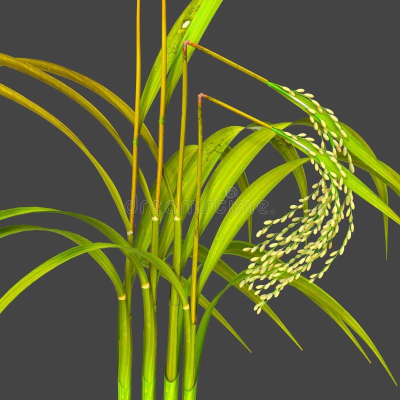 Bakanae Disease On Rice Plant Stock Illustration Illustration Of