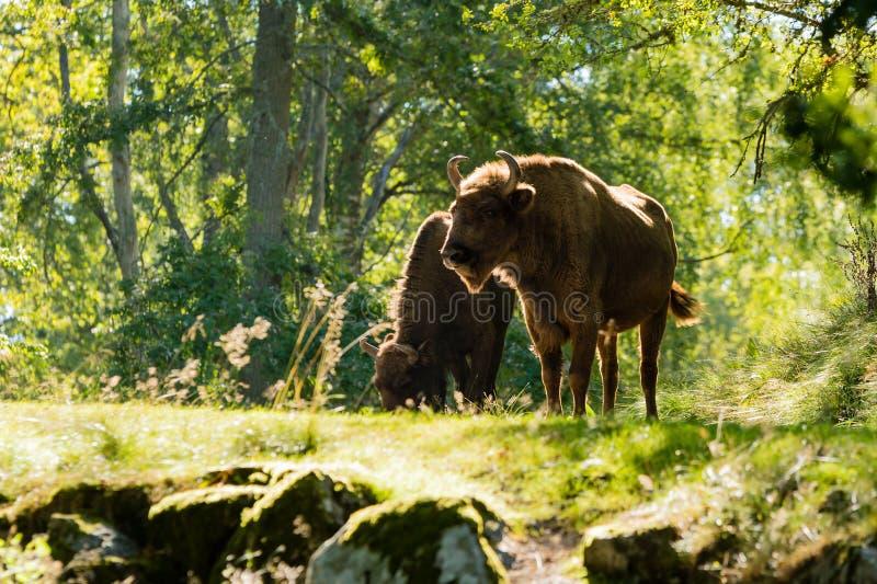 Bakbelyst europeisk bison (bisonbonasusen) royaltyfri foto