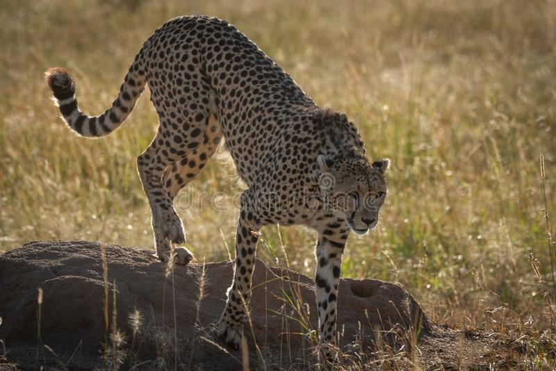 Bakbelyst gepard som ner klättrar från termitkullen fotografering för bildbyråer