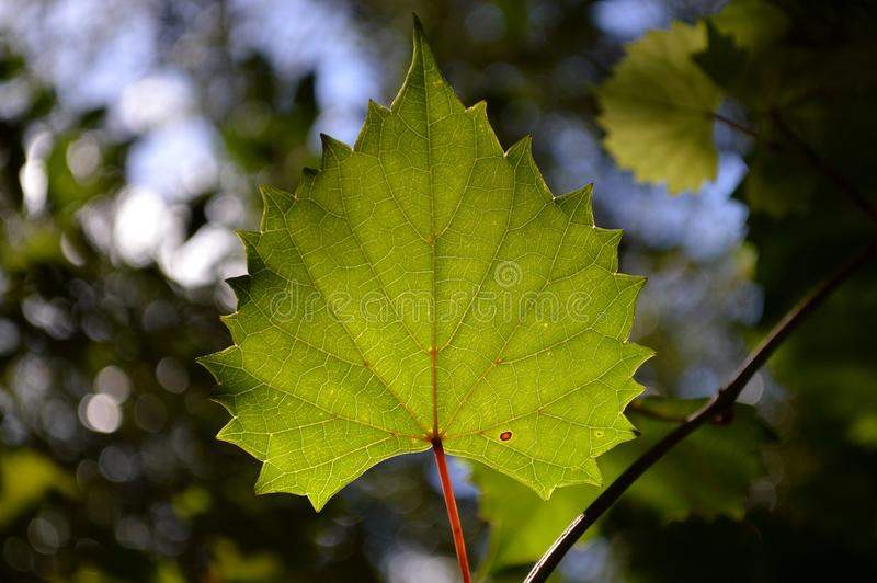 Bakbelyst grönt blad royaltyfri fotografi