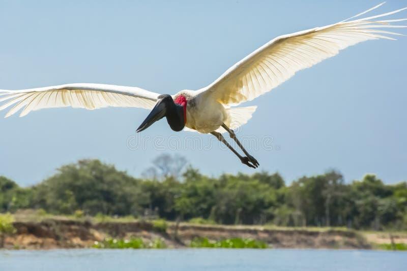 Bakbelyst Jabiru stork i flykten över vatten royaltyfri bild