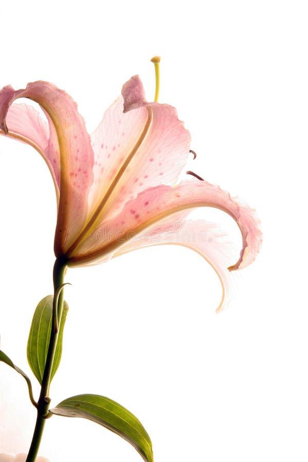 bakbelyst lilja royaltyfri foto