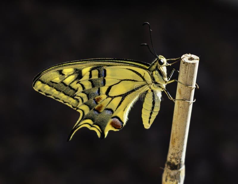 Bakbelyst profil av den nyligen dök upp Swallowtail fjärilen royaltyfri bild