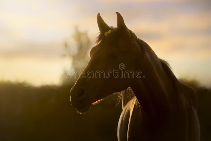 Bakbelyst stående av en häst i en sommarsolnedgång arkivfoton