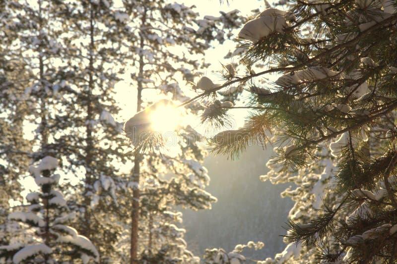 bakbelyst vintergrön soluppgång arkivfoto