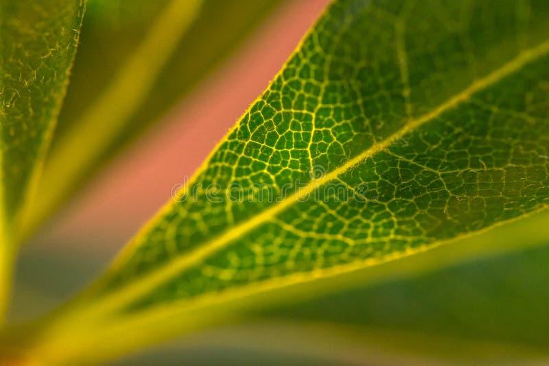 Bakbelysta bladåder arkivbilder