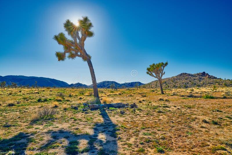 Bakbelysta Joshua Tree med solen royaltyfri fotografi