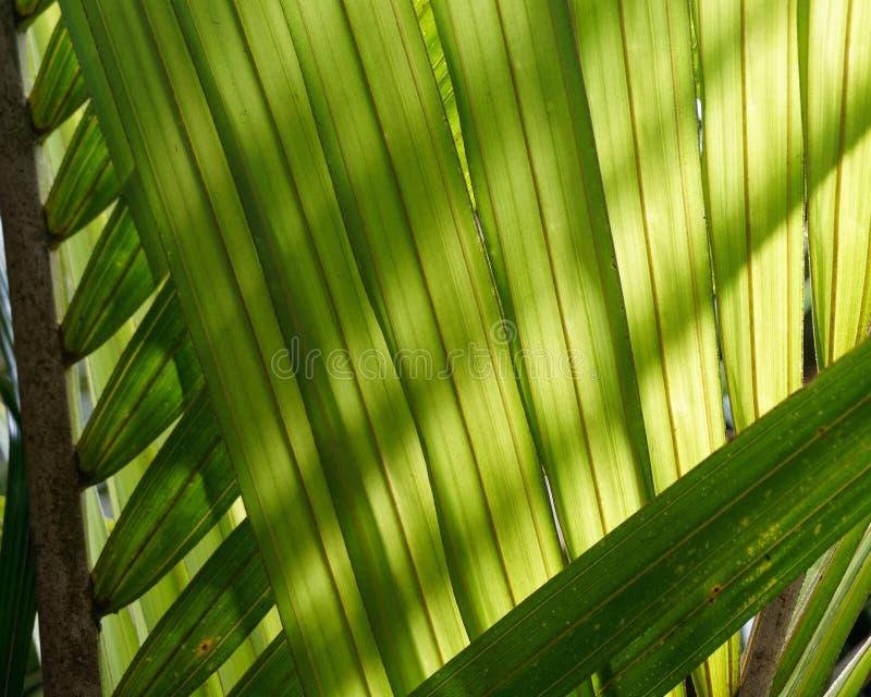 Bakbelysta palmblad som gör en naturlig bakgrund, Nya Zeeland royaltyfria foton