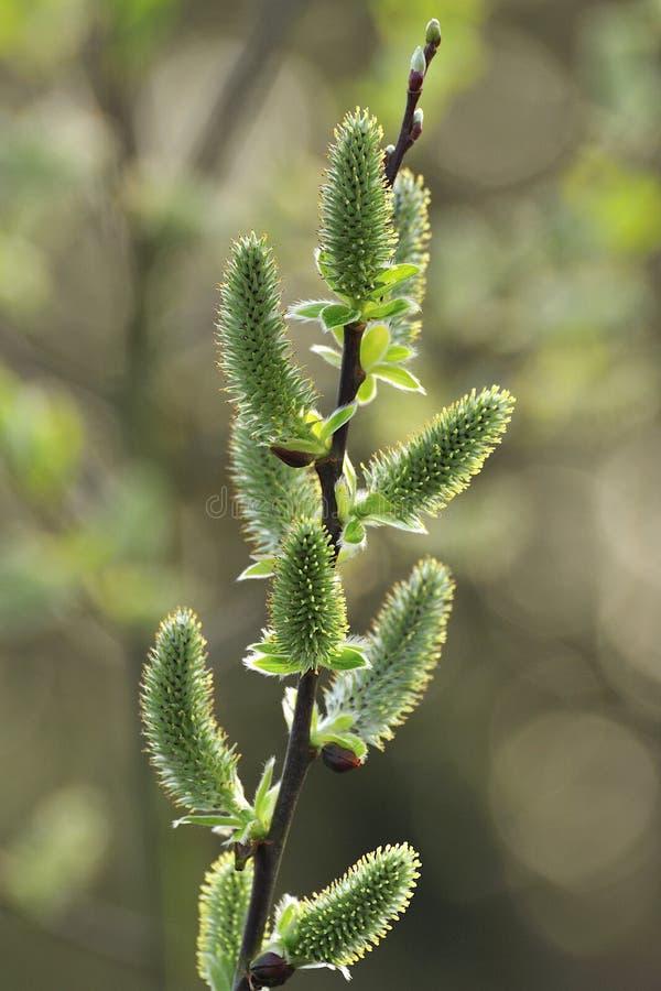 Bakbelysta pilhängen (Salixcapreaen) royaltyfri fotografi