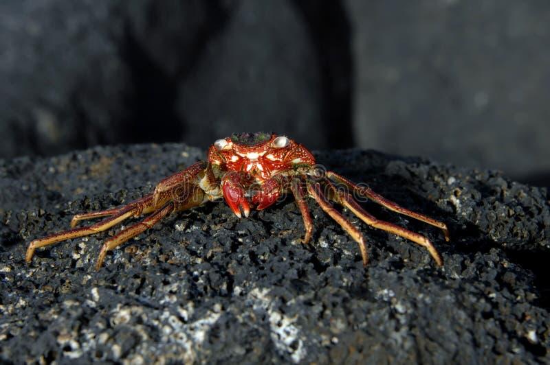 Baked Crab royalty free stock photo