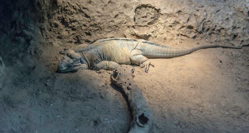 Bakeri de Ctenosaura d'iguane d'Utila, mentant et regardant à la caméra photographie stock