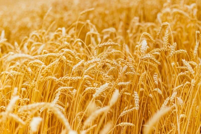 Bakgrund av att mogna öron av det gula vetefältet St?ng sig upp naturfotoid? av en rik sk?rd arkivbilder