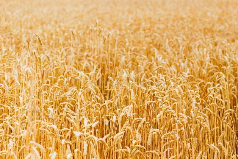 Bakgrund av att mogna öron av det gula vetefältet St?ng sig upp naturfotoid? av en rik sk?rd royaltyfria bilder