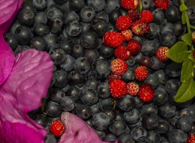 Bakgrund av blåbär och rosa kronblad för jordgubbe royaltyfri bild