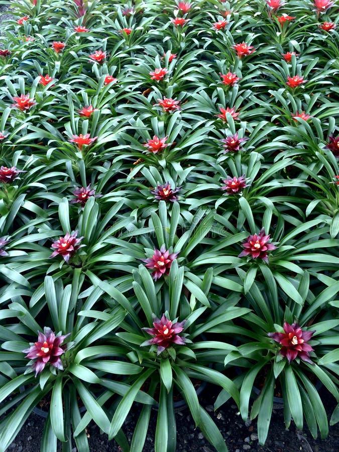 Bakgrund av bromeliaväxter med röd mitt och gröna sidor bildar en modell royaltyfria bilder
