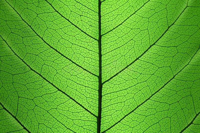 Bakgrund av den gröna bladcellstrukturen - naturlig textur royaltyfri bild