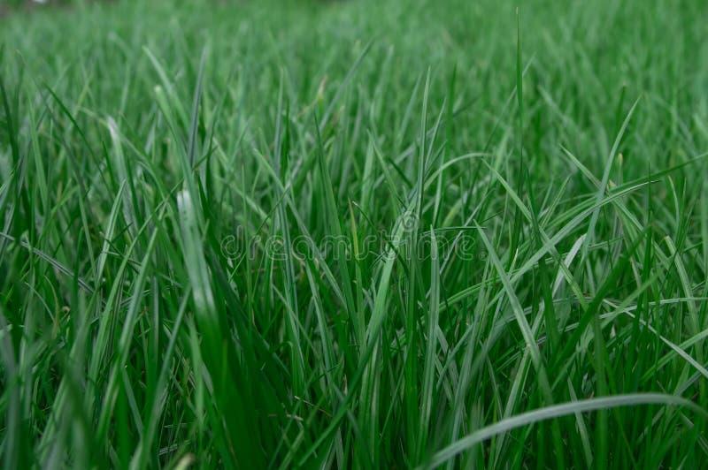 Bakgrund av den gröna gräsmattanärbilden royaltyfri bild