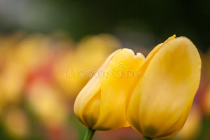 Bakgrund av den gula tulpannärbilden royaltyfri bild