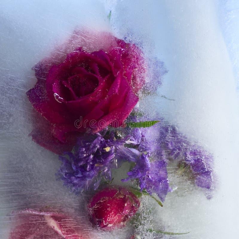 Bakgrund av den rosa blomman som frysas i is arkivbild