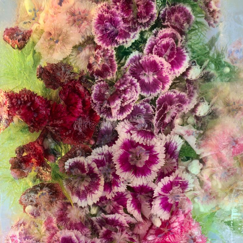 Bakgrund av den söta william blomman som frysas i is royaltyfria bilder