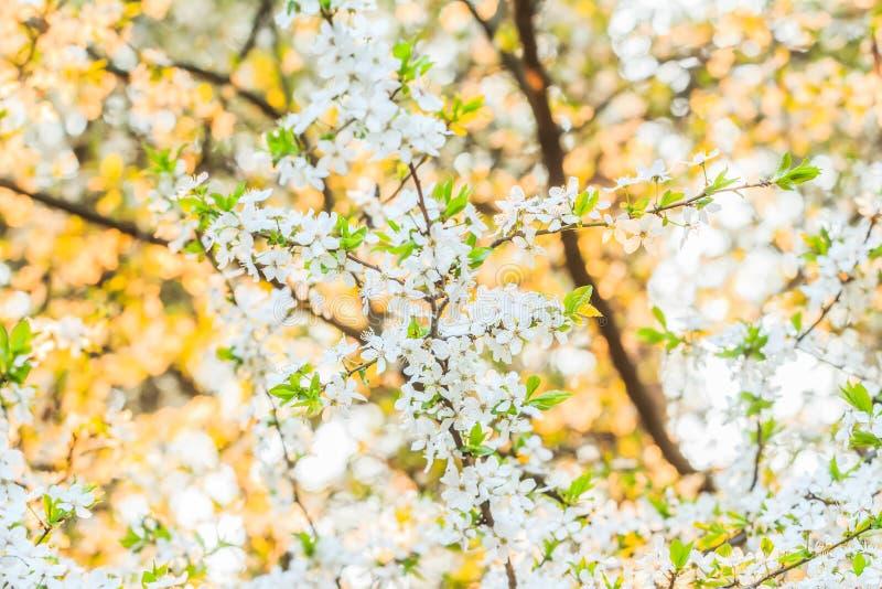 Bakgrund av det blommande fruktträdet i solnedgångljus royaltyfri fotografi