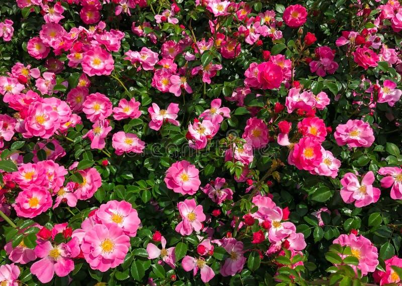 Bakgrund av en blomningbuske av hund-rosen med ljusa rosa färger blommar closeupen arkivfoton