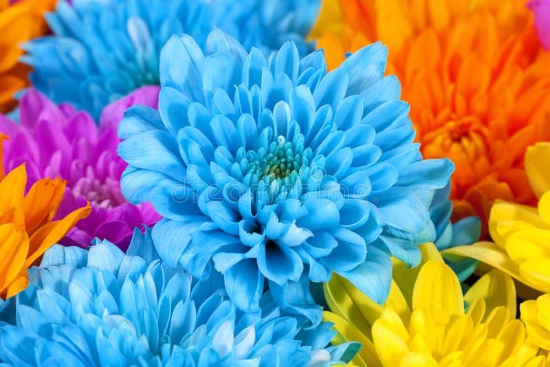 Bakgrund av färgrika krysantemumblommor, blått, rosa färger, guling royaltyfri bild