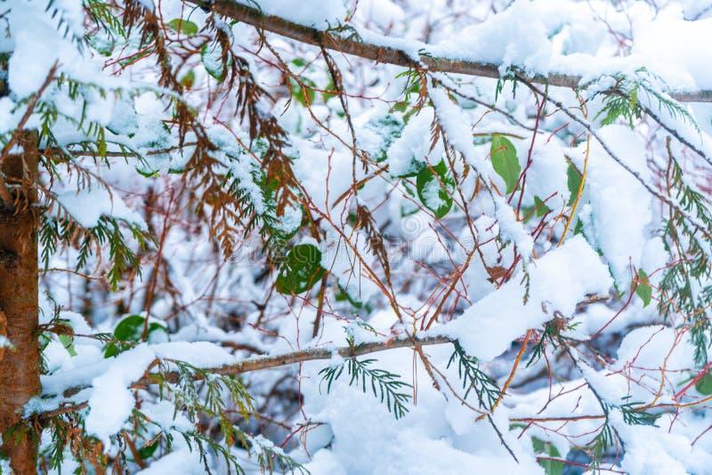 Bakgrund av gröna sidor som F. KR. visar i snöfall efter en snöstorm i den Vancouver deltan, på brännskadamyren Snöig skogplatser royaltyfria foton