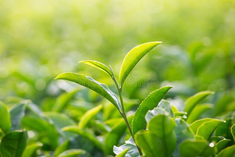 Bakgrund av gröna teblad, blad av te i trädgården arkivfoton