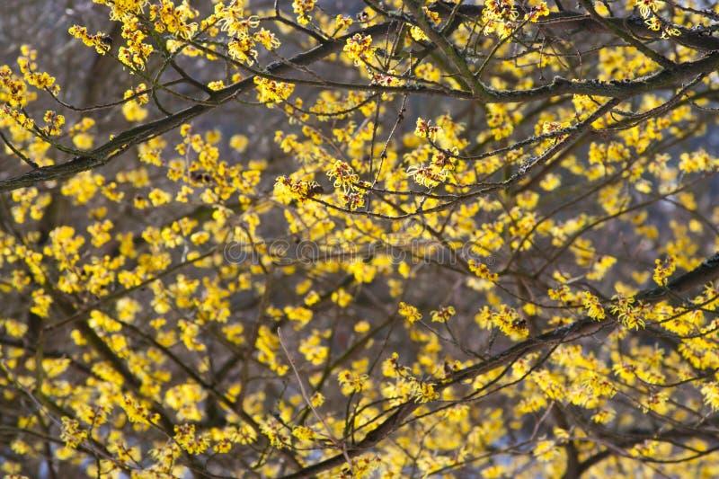 Hamamelisbuske i blom arkivfoton