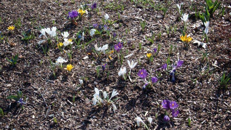 Bakgrund av gula, vita och första vårblommor för lilor royaltyfri fotografi