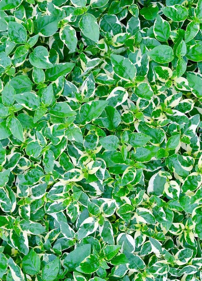 Bakgrund av karikatyr- eller GraptophyllumPictum växter arkivbild