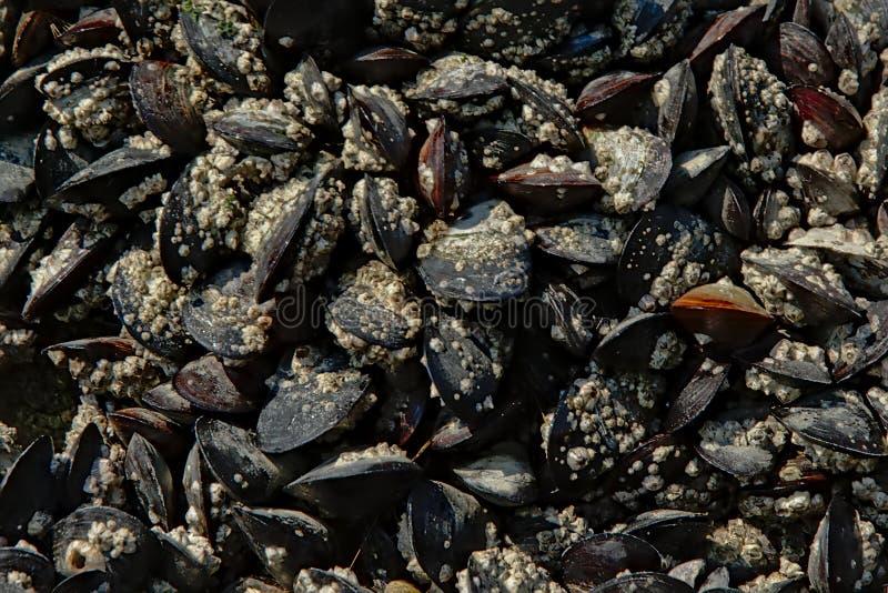 Bakgrund av många musslor royaltyfri foto