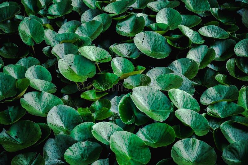 Bakgrund av mörka växter för vattenhyacint - gröna sidor royaltyfri fotografi