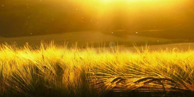 Bakgrund av mognande korn av det gula vetefältet på den molniga gulingen för solnedgång/den guld- himmelultrawidebakgrunden Solup royaltyfri foto