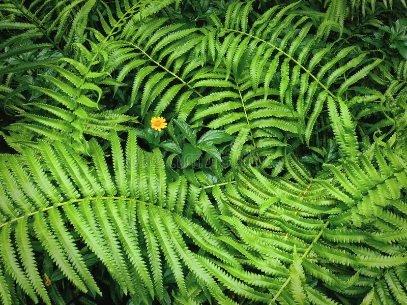 Bakgrund av nya gröna Fern Leaves och den gula blomman royaltyfria foton