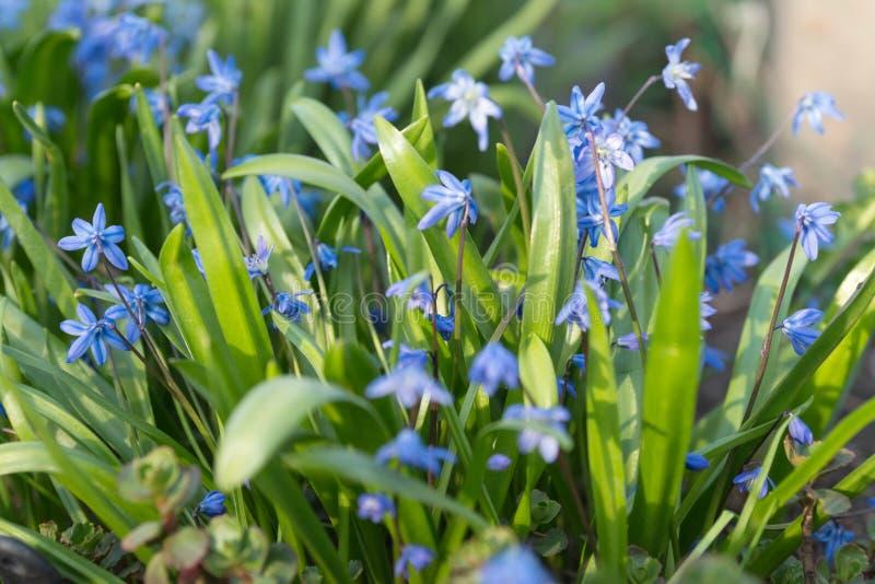 Bakgrund av perent som är gräs-, Scilla Latin Scilla för Siberian för lökformig växt för ‹för †siberica royaltyfri bild