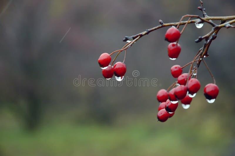 Bakgrund av röda bär av hagtorn med regn tappar royaltyfri bild